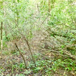 curadelverde.com-cura-del-verde-macerata-treeclimbing-potatura-alberi-alto-fusto-fruttiferi-alberi-da-frutto-olivi-viti-vigna-siepi-giardinaggio-BonGuj24