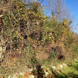 curadelverde.com-cura-del-verde-macerata-treeclimbing-potatura-alberi-alto-fusto-fruttiferi-alberi-da-frutto-olivi-viti-vigna-siepi-giardinaggio-Bonifica 001
