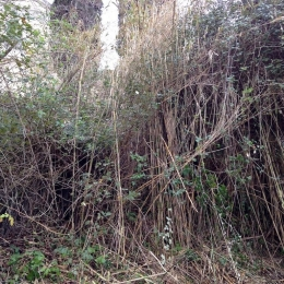 curadelverde.com-cura-del-verde-macerata-treeclimbing-potatura-alberi-alto-fusto-fruttiferi-alberi-da-frutto-olivi-viti-vigna-siepi-giardinaggio-Bonifica 027