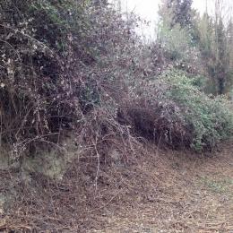 curadelverde.com-cura-del-verde-macerata-treeclimbing-potatura-alberi-alto-fusto-fruttiferi-alberi-da-frutto-olivi-viti-vigna-siepi-giardinaggio-Bonifica 051