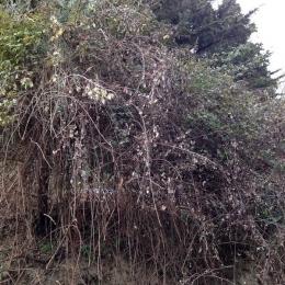 curadelverde.com-cura-del-verde-macerata-treeclimbing-potatura-alberi-alto-fusto-fruttiferi-alberi-da-frutto-olivi-viti-vigna-siepi-giardinaggio-Bonifica 053