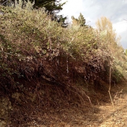 curadelverde.com-cura-del-verde-macerata-treeclimbing-potatura-alberi-alto-fusto-fruttiferi-alberi-da-frutto-olivi-viti-vigna-siepi-giardinaggio-Bonifica 055