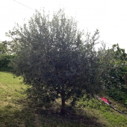 curadelverde.com-cura-del-verde-macerata-treeclimbing-potatura-alberi-alto-fusto-fruttiferi-alberi-da-frutto-olivi-viti-vigna-siepi-giardinaggio-Treeclimbing-Olivi.G15.011