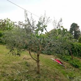 curadelverde.com-cura-del-verde-macerata-treeclimbing-potatura-alberi-alto-fusto-fruttiferi-alberi-da-frutto-olivi-viti-vigna-siepi-giardinaggio-Treeclimbing-Olivi.G15.012