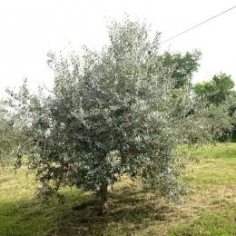 curadelverde.com-cura-del-verde-macerata-treeclimbing-potatura-alberi-alto-fusto-fruttiferi-alberi-da-frutto-olivi-viti-vigna-siepi-giardinaggio-Treeclimbing-Olivi.G15.013