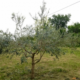 curadelverde.com-cura-del-verde-macerata-treeclimbing-potatura-alberi-alto-fusto-fruttiferi-alberi-da-frutto-olivi-viti-vigna-siepi-giardinaggio-Treeclimbing-Olivi.G15.014