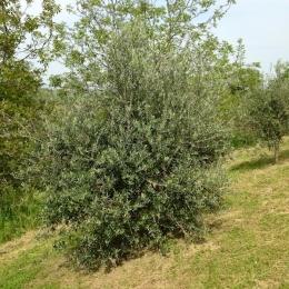 curadelverde.com-cura-del-verde-macerata-treeclimbing-potatura-alberi-alto-fusto-fruttiferi-alberi-da-frutto-olivi-viti-vigna-siepi-giardinaggio-Treeclimbing-Olivi.G15.015