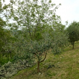 curadelverde.com-cura-del-verde-macerata-treeclimbing-potatura-alberi-alto-fusto-fruttiferi-alberi-da-frutto-olivi-viti-vigna-siepi-giardinaggio-Treeclimbing-Olivi.G15.016