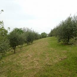 curadelverde.com-cura-del-verde-macerata-treeclimbing-potatura-alberi-alto-fusto-fruttiferi-alberi-da-frutto-olivi-viti-vigna-siepi-giardinaggio-Treeclimbing-Olivi.G15.017