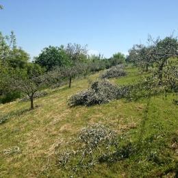 curadelverde.com-cura-del-verde-macerata-treeclimbing-potatura-alberi-alto-fusto-fruttiferi-alberi-da-frutto-olivi-viti-vigna-siepi-giardinaggio-Treeclimbing-Olivi.G15.018