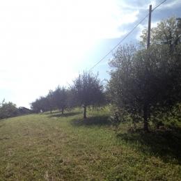 curadelverde.com-cura-del-verde-macerata-treeclimbing-potatura-alberi-alto-fusto-fruttiferi-alberi-da-frutto-olivi-viti-vigna-siepi-giardinaggio-Treeclimbing-Olivi.G15.019