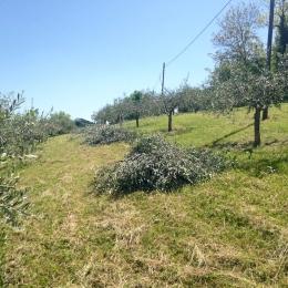 curadelverde.com-cura-del-verde-macerata-treeclimbing-potatura-alberi-alto-fusto-fruttiferi-alberi-da-frutto-olivi-viti-vigna-siepi-giardinaggio-Treeclimbing-Olivi.G15.020