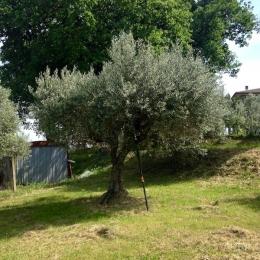 curadelverde.com-cura-del-verde-macerata-treeclimbing-potatura-alberi-alto-fusto-fruttiferi-alberi-da-frutto-olivi-viti-vigna-siepi-giardinaggio-Treeclimbing-Olivi.G15.021