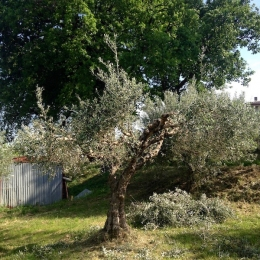 curadelverde.com-cura-del-verde-macerata-treeclimbing-potatura-alberi-alto-fusto-fruttiferi-alberi-da-frutto-olivi-viti-vigna-siepi-giardinaggio-Treeclimbing-Olivi.G15.023