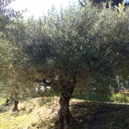 curadelverde.com-cura-del-verde-macerata-treeclimbing-potatura-alberi-alto-fusto-fruttiferi-alberi-da-frutto-olivi-viti-vigna-siepi-giardinaggio-Treeclimbing-Olivi.G15.025