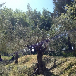 curadelverde.com-cura-del-verde-macerata-treeclimbing-potatura-alberi-alto-fusto-fruttiferi-alberi-da-frutto-olivi-viti-vigna-siepi-giardinaggio-Treeclimbing-Olivi.G15.026