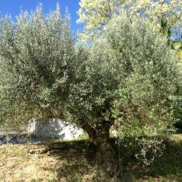 curadelverde.com-cura-del-verde-macerata-treeclimbing-potatura-alberi-alto-fusto-fruttiferi-alberi-da-frutto-olivi-viti-vigna-siepi-giardinaggio-Treeclimbing-Olivi.G15.027