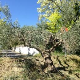 curadelverde.com-cura-del-verde-macerata-treeclimbing-potatura-alberi-alto-fusto-fruttiferi-alberi-da-frutto-olivi-viti-vigna-siepi-giardinaggio-Treeclimbing-Olivi.G15.028