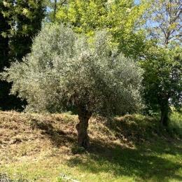 curadelverde.com-cura-del-verde-macerata-treeclimbing-potatura-alberi-alto-fusto-fruttiferi-alberi-da-frutto-olivi-viti-vigna-siepi-giardinaggio-Treeclimbing-Olivi.G15.029