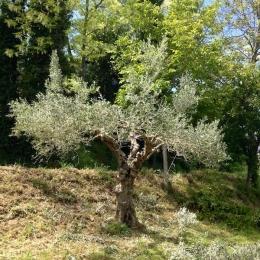 curadelverde.com-cura-del-verde-macerata-treeclimbing-potatura-alberi-alto-fusto-fruttiferi-alberi-da-frutto-olivi-viti-vigna-siepi-giardinaggio-Treeclimbing-Olivi.G15.030