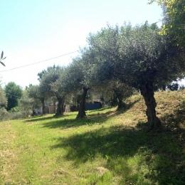 curadelverde.com-cura-del-verde-macerata-treeclimbing-potatura-alberi-alto-fusto-fruttiferi-alberi-da-frutto-olivi-viti-vigna-siepi-giardinaggio-Treeclimbing-Olivi.G15.035