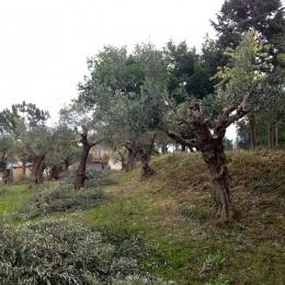curadelverde.com-cura-del-verde-macerata-treeclimbing-potatura-alberi-alto-fusto-fruttiferi-alberi-da-frutto-olivi-viti-vigna-siepi-giardinaggio-Treeclimbing-Olivi.G15.036
