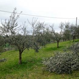 curadelverde.com-cura-del-verde-macerata-treeclimbing-potatura-alberi-alto-fusto-fruttiferi-alberi-da-frutto-olivi-viti-vigna-siepi-giardinaggio-Treeclimbing-Olivi.G16.004