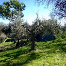 curadelverde.com-cura-del-verde-macerata-treeclimbing-potatura-alberi-alto-fusto-fruttiferi-alberi-da-frutto-olivi-viti-vigna-siepi-giardinaggio-Treeclimbing-Olivi.G16.021