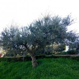 curadelverde.com-cura-del-verde-macerata-treeclimbing-potatura-alberi-alto-fusto-fruttiferi-alberi-da-frutto-olivi-viti-vigna-siepi-giardinaggio-Treeclimbing-Olivi.G16.027