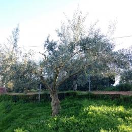 curadelverde.com-cura-del-verde-macerata-treeclimbing-potatura-alberi-alto-fusto-fruttiferi-alberi-da-frutto-olivi-viti-vigna-siepi-giardinaggio-Treeclimbing-Olivi.G16.028