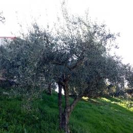 curadelverde.com-cura-del-verde-macerata-treeclimbing-potatura-alberi-alto-fusto-fruttiferi-alberi-da-frutto-olivi-viti-vigna-siepi-giardinaggio-Treeclimbing-Olivi.G16.029