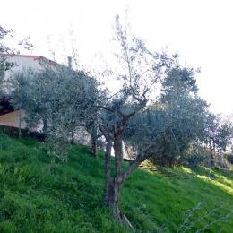 curadelverde.com-cura-del-verde-macerata-treeclimbing-potatura-alberi-alto-fusto-fruttiferi-alberi-da-frutto-olivi-viti-vigna-siepi-giardinaggio-Treeclimbing-Olivi.G16.029a