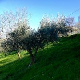 curadelverde.com-cura-del-verde-macerata-treeclimbing-potatura-alberi-alto-fusto-fruttiferi-alberi-da-frutto-olivi-viti-vigna-siepi-giardinaggio-Treeclimbing-Olivi.G16.033