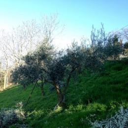 curadelverde.com-cura-del-verde-macerata-treeclimbing-potatura-alberi-alto-fusto-fruttiferi-alberi-da-frutto-olivi-viti-vigna-siepi-giardinaggio-Treeclimbing-Olivi.G16.034
