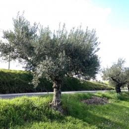 curadelverde.com-cura-del-verde-macerata-treeclimbing-potatura-alberi-alto-fusto-fruttiferi-alberi-da-frutto-olivi-viti-vigna-siepi-giardinaggio-Treeclimbing-Olivi.G16.037