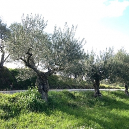 curadelverde.com-cura-del-verde-macerata-treeclimbing-potatura-alberi-alto-fusto-fruttiferi-alberi-da-frutto-olivi-viti-vigna-siepi-giardinaggio-Treeclimbing-Olivi.G16.038