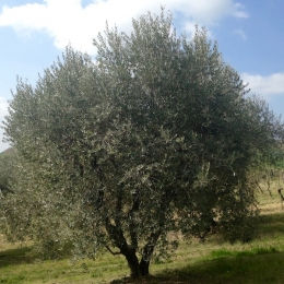 curadelverde.com-cura-del-verde-macerata-treeclimbing-potatura-alberi-alto-fusto-fruttiferi-alberi-da-frutto-olivi-viti-vigna-siepi-giardinaggio-Treeclimbing-Olivi.PA002