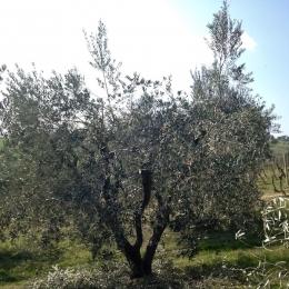 curadelverde.com-cura-del-verde-macerata-treeclimbing-potatura-alberi-alto-fusto-fruttiferi-alberi-da-frutto-olivi-viti-vigna-siepi-giardinaggio-Treeclimbing-Olivi.PA005