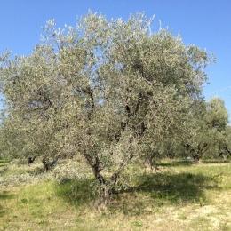 curadelverde.com-cura-del-verde-macerata-treeclimbing-potatura-alberi-alto-fusto-fruttiferi-alberi-da-frutto-olivi-viti-vigna-siepi-giardinaggio-Treeclimbing-Olivi.PA012