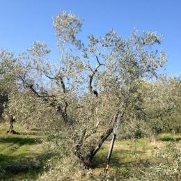 curadelverde.com-cura-del-verde-macerata-treeclimbing-potatura-alberi-alto-fusto-fruttiferi-alberi-da-frutto-olivi-viti-vigna-siepi-giardinaggio-Treeclimbing-Olivi.PA015