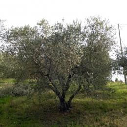 curadelverde.com-cura-del-verde-macerata-treeclimbing-potatura-alberi-alto-fusto-fruttiferi-alberi-da-frutto-olivi-viti-vigna-siepi-giardinaggio-Treeclimbing-Olivi.PA027