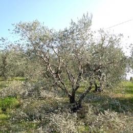 curadelverde.com-cura-del-verde-macerata-treeclimbing-potatura-alberi-alto-fusto-fruttiferi-alberi-da-frutto-olivi-viti-vigna-siepi-giardinaggio-Treeclimbing-Olivi.PA034