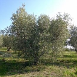 curadelverde.com-cura-del-verde-macerata-treeclimbing-potatura-alberi-alto-fusto-fruttiferi-alberi-da-frutto-olivi-viti-vigna-siepi-giardinaggio-Treeclimbing-Olivi.PA037