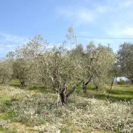 curadelverde.com-cura-del-verde-macerata-treeclimbing-potatura-alberi-alto-fusto-fruttiferi-alberi-da-frutto-olivi-viti-vigna-siepi-giardinaggio-Treeclimbing-Olivi.PA038