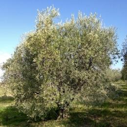 curadelverde.com-cura-del-verde-macerata-treeclimbing-potatura-alberi-alto-fusto-fruttiferi-alberi-da-frutto-olivi-viti-vigna-siepi-giardinaggio-Treeclimbing-Olivi.PA039