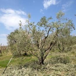 curadelverde.com-cura-del-verde-macerata-treeclimbing-potatura-alberi-alto-fusto-fruttiferi-alberi-da-frutto-olivi-viti-vigna-siepi-giardinaggio-Treeclimbing-Olivi.PA042