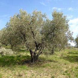 curadelverde.com-cura-del-verde-macerata-treeclimbing-potatura-alberi-alto-fusto-fruttiferi-alberi-da-frutto-olivi-viti-vigna-siepi-giardinaggio-Treeclimbing-Olivi.PA045