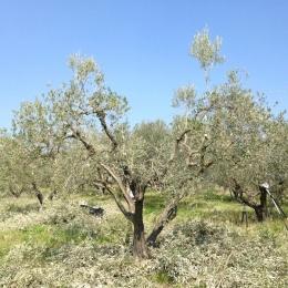 curadelverde.com-cura-del-verde-macerata-treeclimbing-potatura-alberi-alto-fusto-fruttiferi-alberi-da-frutto-olivi-viti-vigna-siepi-giardinaggio-Treeclimbing-Olivi.PA046