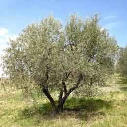 curadelverde.com-cura-del-verde-macerata-treeclimbing-potatura-alberi-alto-fusto-fruttiferi-alberi-da-frutto-olivi-viti-vigna-siepi-giardinaggio-Treeclimbing-Olivi.PA047