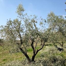 curadelverde.com-cura-del-verde-macerata-treeclimbing-potatura-alberi-alto-fusto-fruttiferi-alberi-da-frutto-olivi-viti-vigna-siepi-giardinaggio-Treeclimbing-Olivi.PA050
